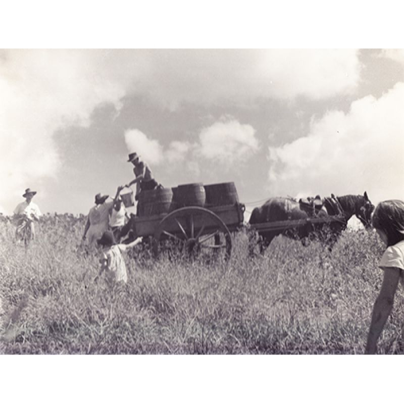 Max Dupain: Collecting the grapes on horse and cart at Mount Pleasant winery, 1950 Courtesy the National Library of Australia