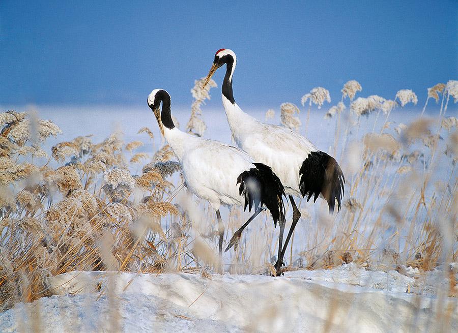 2 cranes in snow