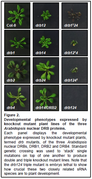 Development phenotypes expressed by knockout mutant plant lines of the three Arabidopsis nuclear DRB proteins