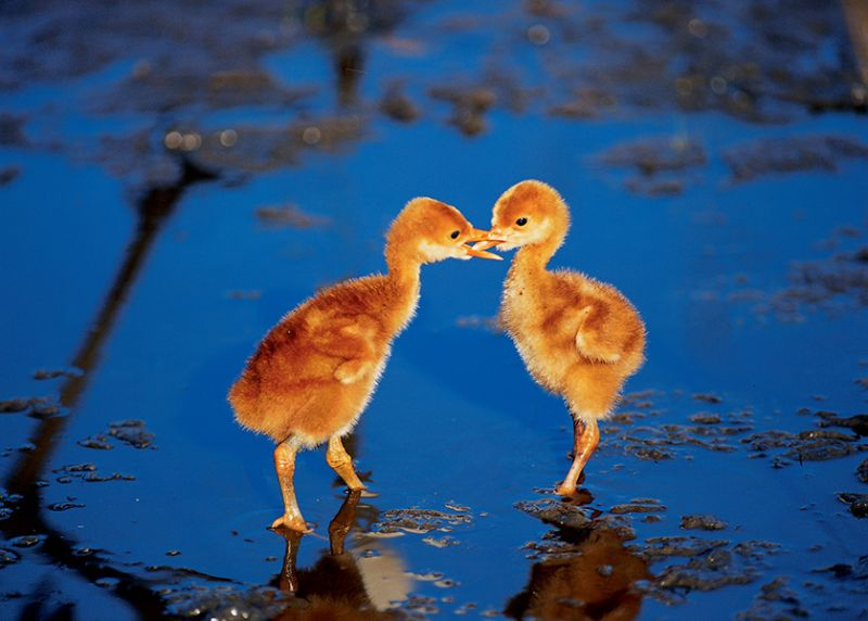 """""""The two little crane babies were practising their skills in foraging for food, as if they were showing brotherly bond with each other. The younger one was weak and always in a disadvantaged position. I was quite concerned about the younger crane baby as he was born weak, and I often prayed for his health."""""""