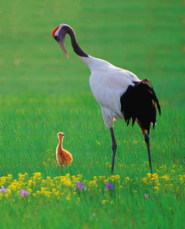 """""""Unfortunately, what I worried about to come true. The younger crane baby died in one windy and rainy night. Dream and Cloud consoled each other in great sorrow. <br> """"After the younger son died, the parents paid much more attention to the elder one. One sunny day on the grassland with blooming flowers, the son looked up into his father's eyes, seemingly to console his father. Dream set his hope on the only son. <br> """"A new year marked the new beginning. When the spring had arrived, Cloud gave birth to two new babies. Everything went well in the family."""""""
