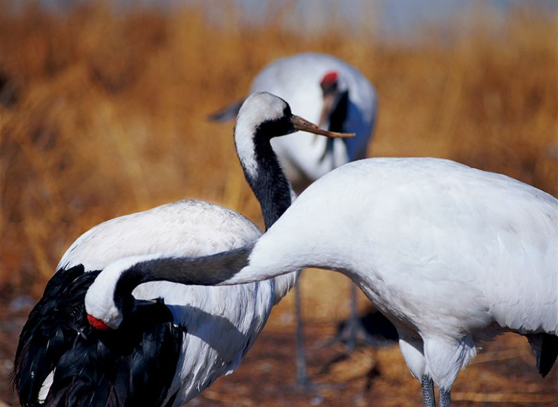 """Chapter 4: In Sickness and in Health. <br> """"One winter day, the misfortune fell onto Cloud. The family were wandering around on the icy lake surface as usual. While Cloud was foraging from the ice cracks, her beak broke due to the freezing temperature. Beak was very important for cranes' survival, a broken beak could be disastrous to Cloud, and to the family. How could Cloud survive in the coming days? I was extremely worried for her. <br> """"Quickly, I realised my concerns were totally unnecessary. From the day that Cloud broke her beak, Dream started to look after her very carefully."""""""