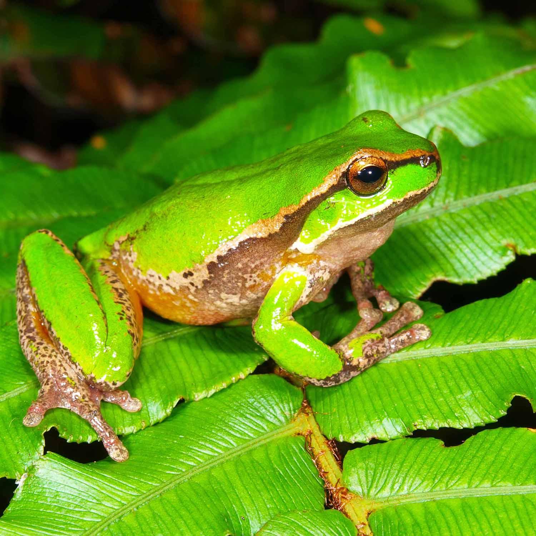 Davies' tree frog