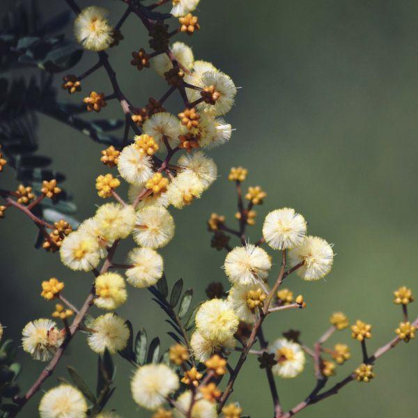 Photo of Australian Wattle tree
