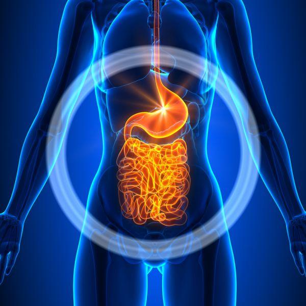 oesophagus stomach intestine digest