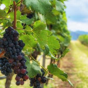 New Tastes of Wine Symposium - Sustainable Consumption