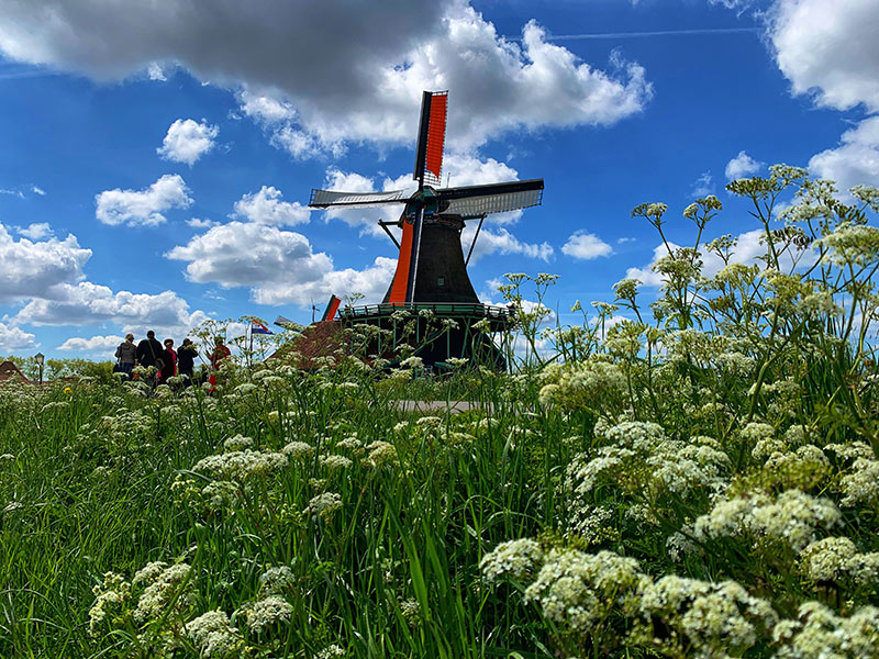 Field of flowers and a windmill