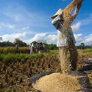 Food security and the governance of local knowledge in India and Indonesia