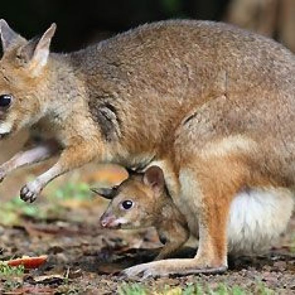 Conservation ecology of threatened wallabies