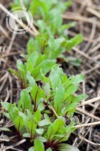Herbs in The U Community Garden