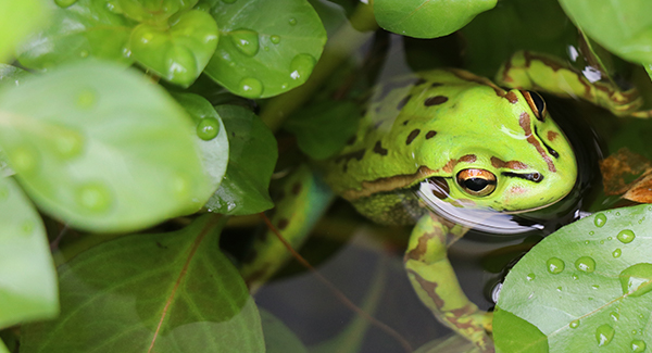 Conservation research saving Australia's frogs