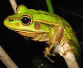 Disease and food availability in created habitats may affect frog reproduction